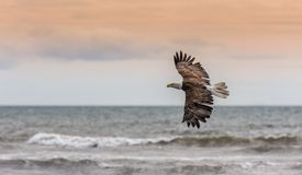 Eagle calvo americano all'Alaska Fotografie Stock Libere da Diritti
