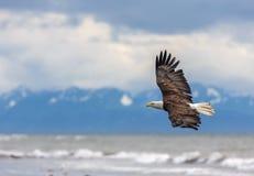 Eagle calvo americano all'Alaska immagine stock