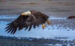 Eagle calvo americano all'Alaska Fotografia Stock Libera da Diritti