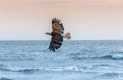 Eagle calvo americano all'Alaska fotografia stock