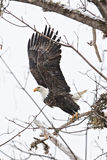 Eagle calvo americano con las alas extendidas Fotografía de archivo