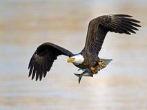 Eagle calvo americano con los pescados Foto de archivo libre de regalías