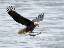 Eagle calvo americano con los pescados imagen de archivo