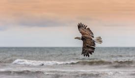 Eagle calvo americano en Alaska Fotos de archivo libres de regalías