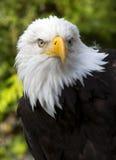 Eagle calvo americano en Alaska fotos de archivo