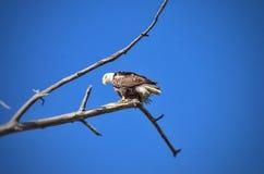 Eagle calvo americano en el parque de estado del pueblo del lago Colorado Imagenes de archivo