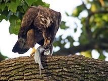 Eagle calvo americano giovanile con il pesce Fotografie Stock