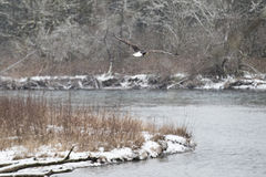 Eagle calvo americano salvaje en vuelo sobre el río de Skagit en lavado Imagen de archivo libre de regalías