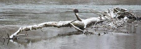 Eagle calvo americano selvaggio che si siede su un collegamento il fiume di Skagit dentro Fotografie Stock Libere da Diritti