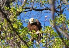 Eagle calvo che dà lo sguardo fisso giù Immagini Stock