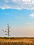 Eagle calvo che guarda fisso fuori sopra la baia di Chesapeake Fotografia Stock