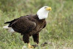 Eagle calvo che guarda sopra il suo pasto Fotografie Stock
