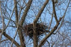 Eagle calvo che richiede il suo compagno dal loro nido immagini stock
