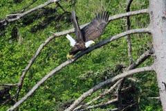 Eagle calvo che vola via un ramo per ottenere di predare nell'oceano immagine stock libera da diritti