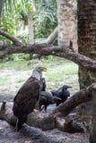 Eagle calvo con gli avvoltoi Fotografie Stock