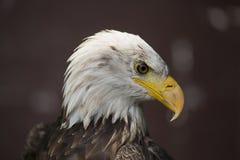 Eagle calvo con il becco tagliente fotografia stock