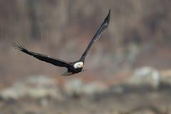 Eagle calvo con la preda Fotografia Stock Libera da Diritti