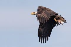 Eagle calvo con la prima colazione Fotografie Stock Libere da Diritti