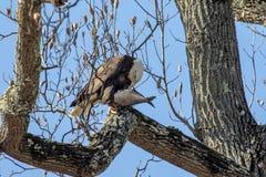 Eagle calvo con un'alosa americana Immagine Stock