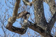Eagle calvo con un'alosa americana Fotografia Stock