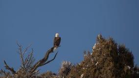Eagle calvo contra el cielo azul fotografía de archivo libre de regalías