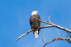 Eagle calvo, Denver, Colorado fotografia stock