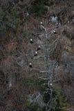 Eagle calvo en árbol cerca de Homer Alaska Fotografía de archivo
