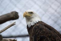 Eagle calvo en cautiverio Imágenes de archivo libres de regalías