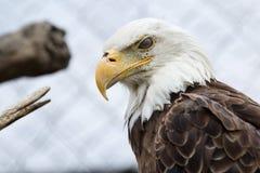 Eagle calvo en cautiverio Foto de archivo libre de regalías
