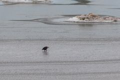 Eagle calvo en el agua imagen de archivo