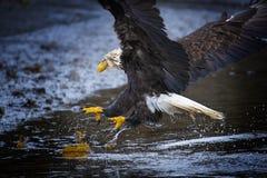 Eagle calvo en el home run de la bahía de Kachemak, Alaska fotografía de archivo