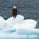 Eagle calvo en el iceberg Imagen de archivo