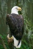 Eagle calvo en el parque zoológico de Tampa la Florida Imagenes de archivo