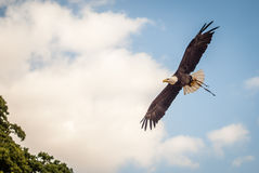 Eagle calvo en Inglaterra Imágenes de archivo libres de regalías
