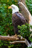 Eagle calvo en la atención Imagenes de archivo