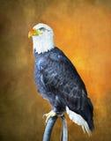 Eagle calvo en la puesta del sol Fotografía de archivo
