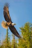 Eagle calvo en mediados de vuelo Fotos de archivo
