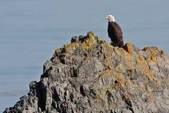 Eagle calvo en roca cerca del agua Imagenes de archivo