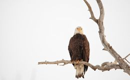 Eagle calvo encaramado en un árbol hivernal imagen de archivo libre de regalías