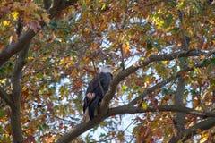 Eagle calvo encaramado en una rama rodeada por las hojas de otoño foto de archivo