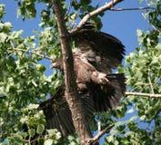 Eagle calvo juvenil Fotografía de archivo