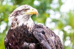 Eagle calvo juvenil en Wyoming imagen de archivo libre de regalías
