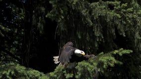 Eagle calvo, leucocephalus del haliaeetus, adulto en vuelo, sacando de rama almacen de metraje de vídeo