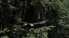 Eagle calvo, leucocephalus del haliaeetus, adulto en vuelo, sacando de rama, almacen de metraje de vídeo