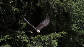 Eagle calvo, leucocephalus del haliaeetus, adulto en vuelo, sacando de rama, metrajes