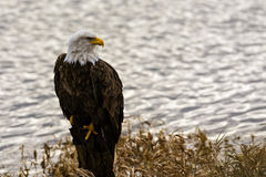 Eagle calvo (leucocephalus del Haliaeetus) in Columbia Britannica, Canad Fotografia Stock Libera da Diritti