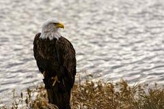 Eagle calvo (leucocephalus del Haliaeetus) en la Columbia Británica, Canad Foto de archivo libre de regalías