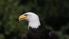 Eagle calvo, leucocephalus del haliaeetus, retrato del adulto que mira alrededor, almacen de metraje de vídeo