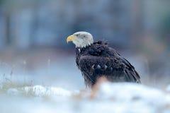 Eagle calvo, leucocephalus del Haliaeetus, retrato del ave rapaz marrón con la cabeza blanca, cuenta amarilla Escena del invierno Fotos de archivo libres de regalías