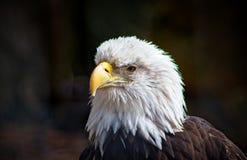 Eagle calvo, mai vigile, intensamente messo a fuoco, stante fiero fotografie stock